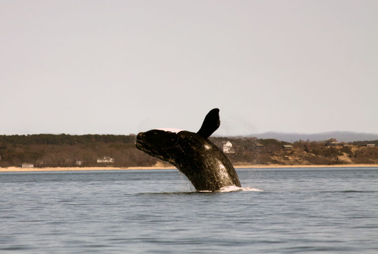 Canaries in the coal mine? North Atlantic right whale use of key habitat changing rapidly