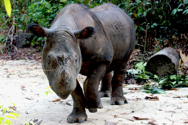 Indonesia to capture 3 wild Sumatran rhinos to add to breeding population
