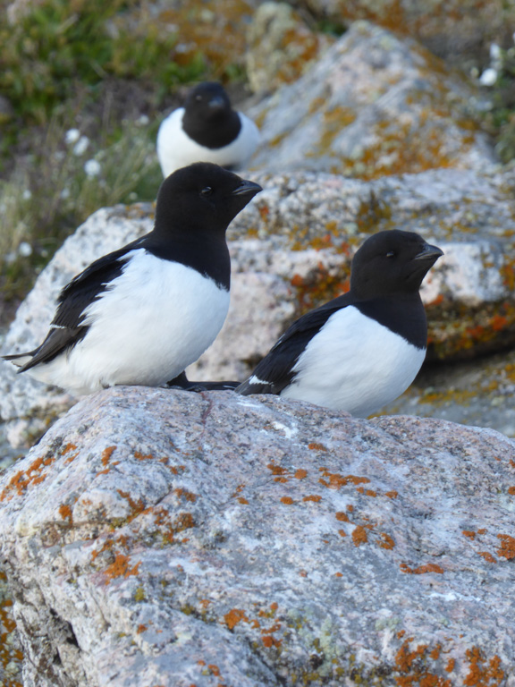 Little auks, pictured here in Greenland, are the most numerous seabirds in the Arctic. Image by Manon Clairbaux.