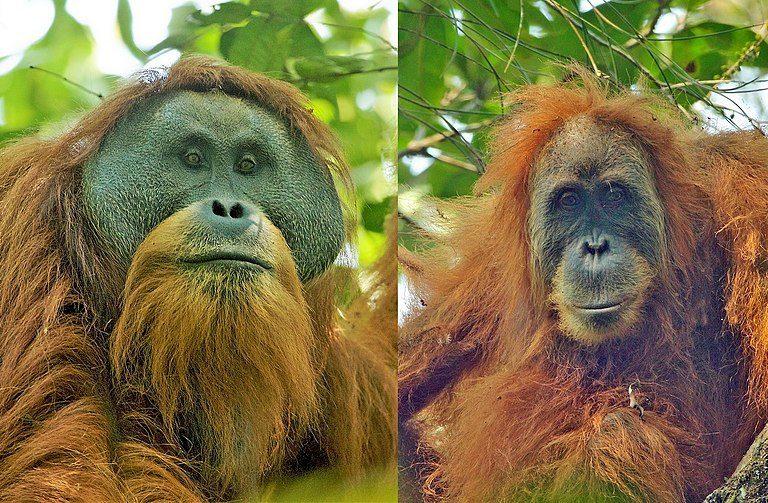 塔巴努里猩猩(Tapanuli orangutan,Pongo tapanuliensis),左公、右母。Tim Laman攝於北蘇門答臘的巴丹托魯森林(CC BY 4.0)