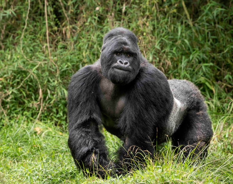 A silverback mountain gorilla in Uganda. Image by Skyler Bishop/Gorilla Doctors.
