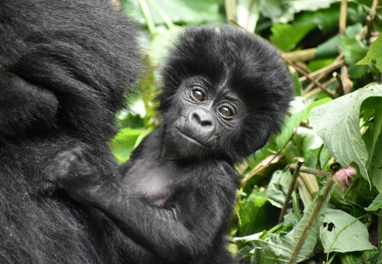 Keeping gorillas safe amid COVID-19 concerns