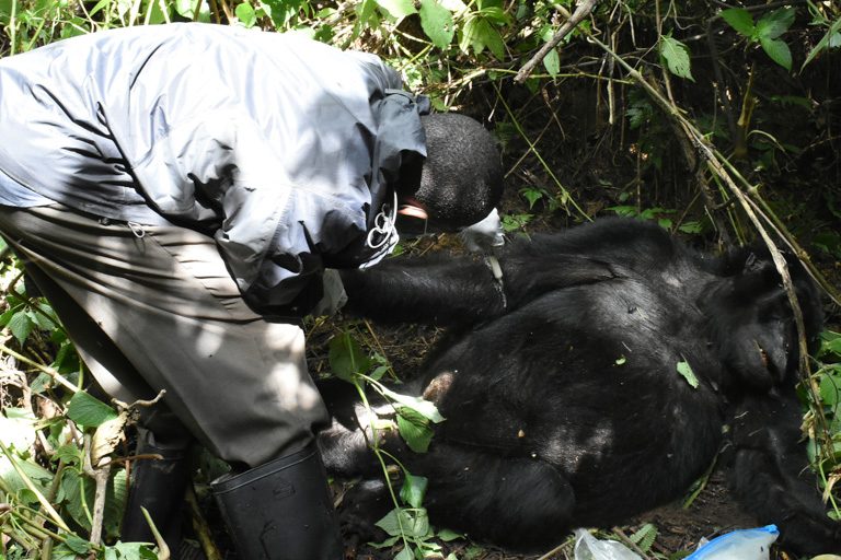 Veterinarian Fred Nizeyimana performs an emergency snare removal from adult female mountain gorilla in Bwindi Impenetrable National Park, Uganda. Image courtesy of Gorilla Doctors.