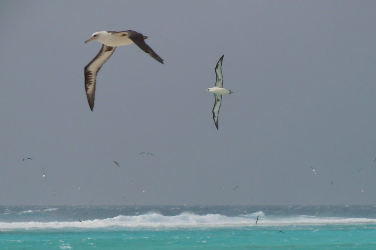 Laysan albatross (Phoebastria immutabilis) at Midway Atoll National Wildlife Refuge. Image by Noah Kahn/USFWS via Flickr (CC BY 2.0).