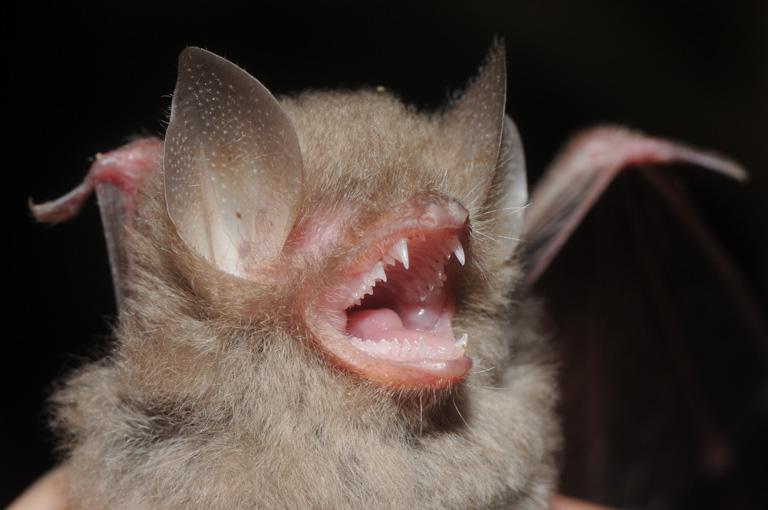 The Manus Island wooly bat, in Papua New Guinea