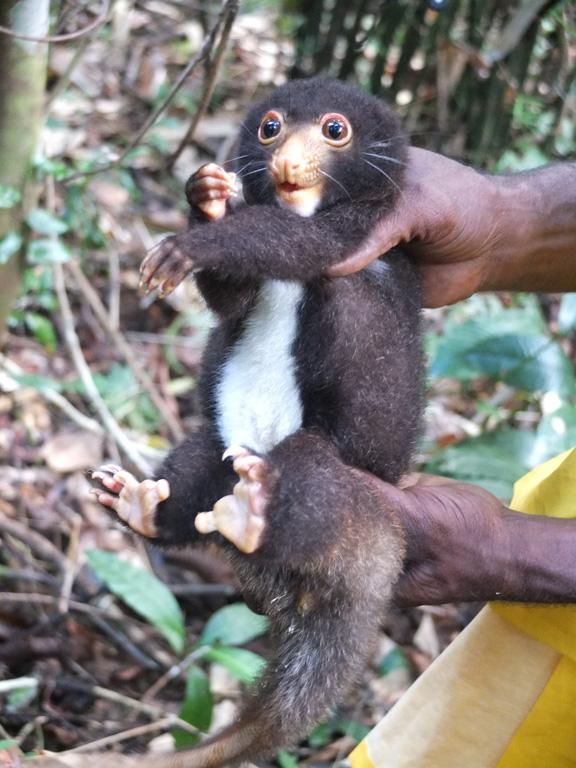 Cuscus in Papua New Guinea