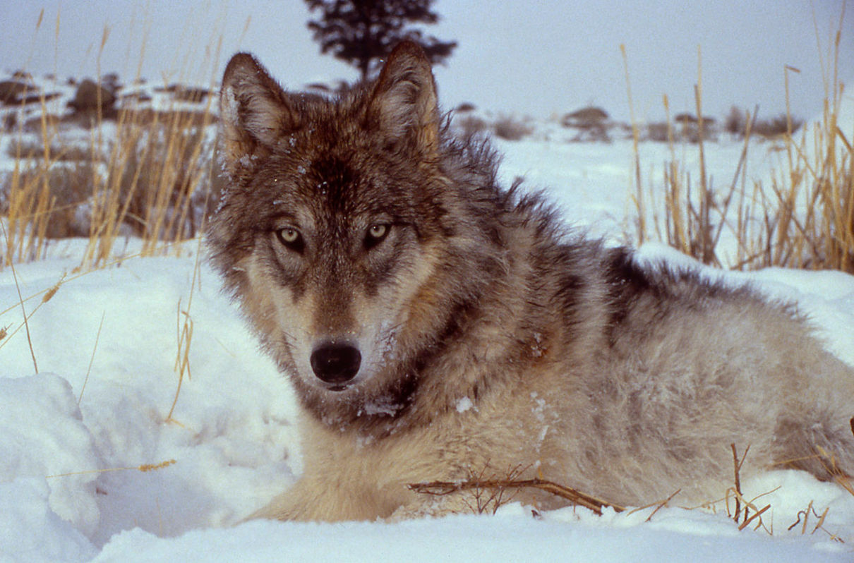 2020 ballot initiative would restore wolves to Colorado