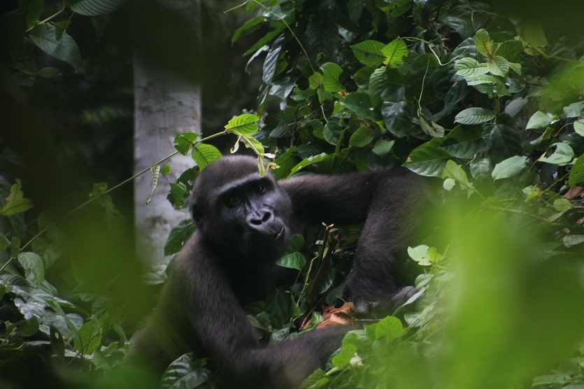 A gorilla at the habituation project in Campo Ma'an National Park. Image courtesy Campo Ma'an National Park via Wikicommons (CC BY-SA 4.0)
