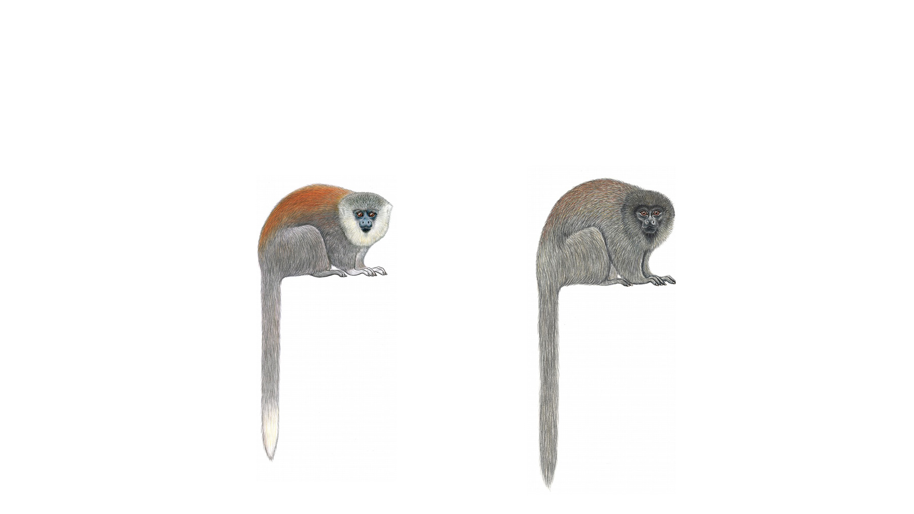 Plecturocebus parecis (left) and the closely related Plecturocebus cinerascens (right). Illustration courtesy of Stephen D. Nash.