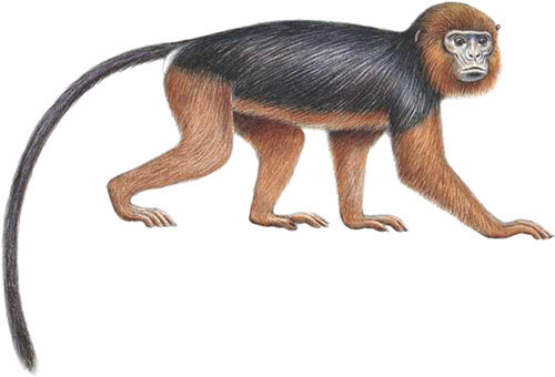 Drawing of Miss Waldron's red colobus. Image courtesy Stephen Nash/Conservation International