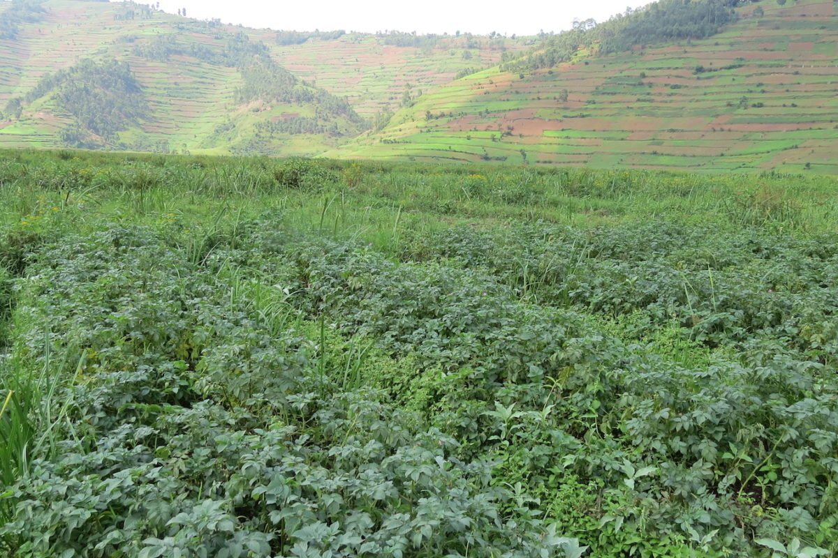 Potato field in the Mugandu-Buramba wetland. Image for Mongabay by Fredrick Mugira.