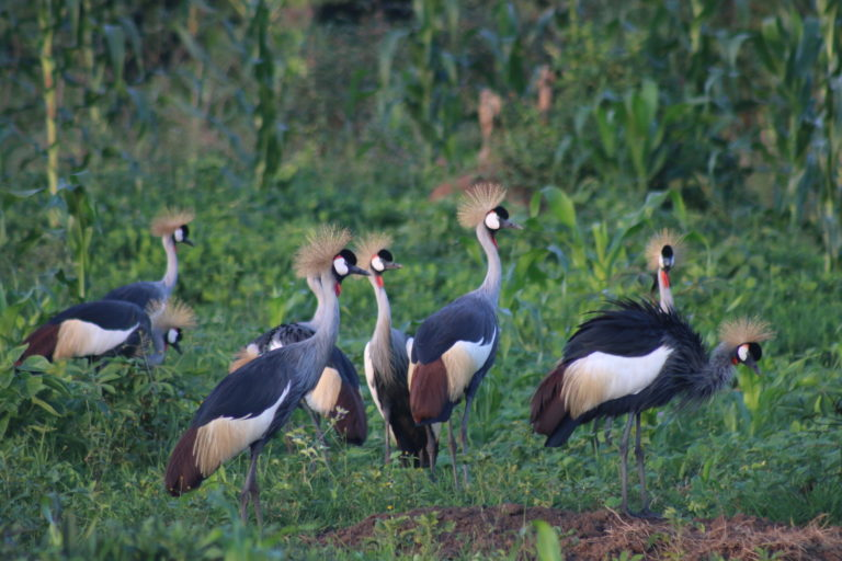 Grey Crowned Cranes. Image by Fredrick Mugira for Mongabay.