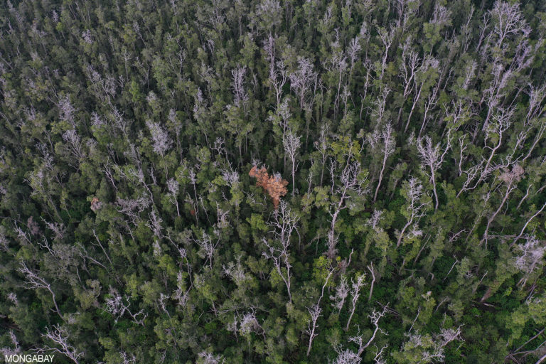 A forest dying due to Rapid 'Ōhi'a Death. Photo by Rhett A. Butler