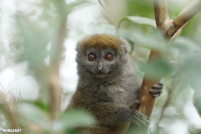 Bamboo lemur in Madagascar. Photo by Rhett A. Butler