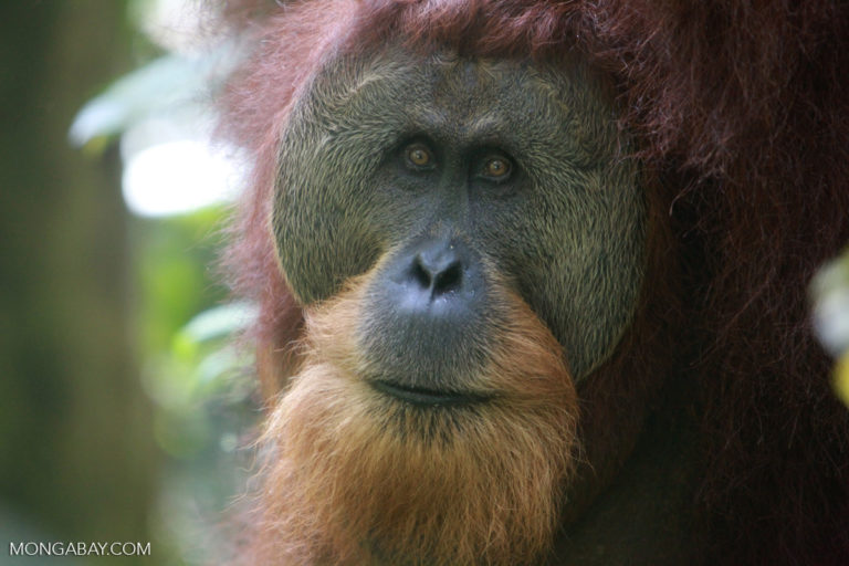 Sumatran orangutans are threatened by deforestation for palm oil, pulp and paper, and timber production. Photo by Rhett A. Butler