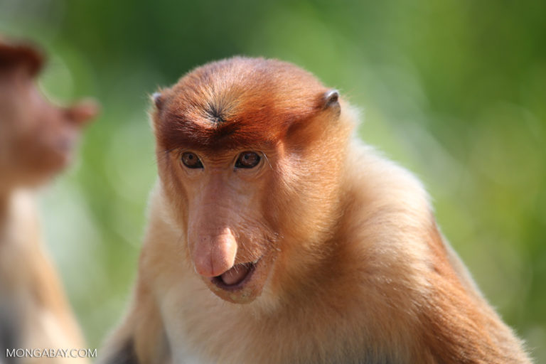Proboscis monkeys in Borneo have lost habitat to oil palm plantations and shrimp farms. Photo by Rhett A. Butler