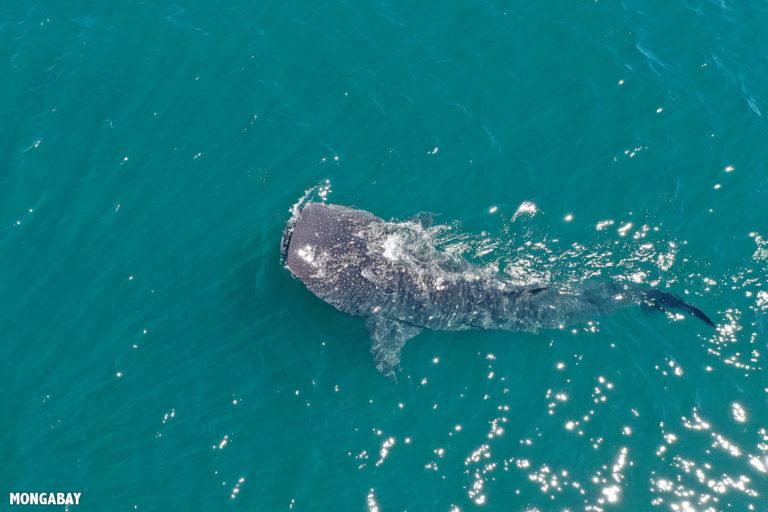 Whale shark feeding on plankton in the Sea of Cortez off Baja California, Mexico. Photo by Rhett A. Butler.