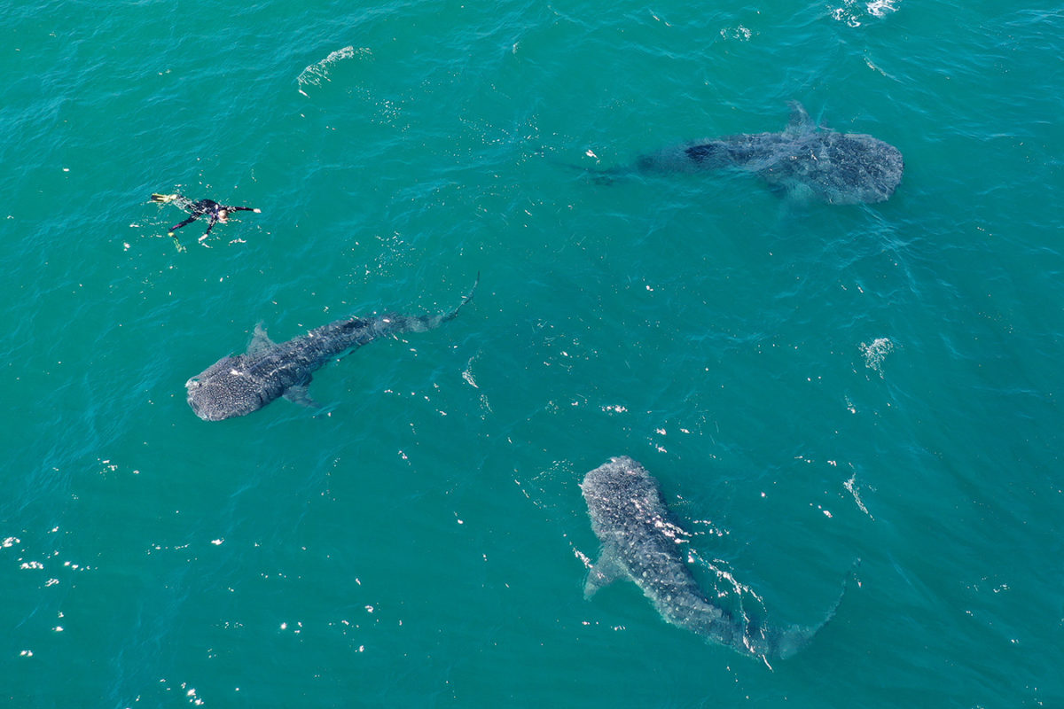 Snorkeler with three juvenile whale sharks in the Sea of Cortez off Baja California, Mexico. Photo by Rhett A. Butler.