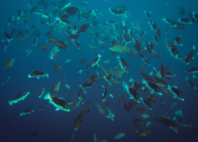 Spawning Nassau grouper in Belize. Image by Alexander Tewfik/WCS.