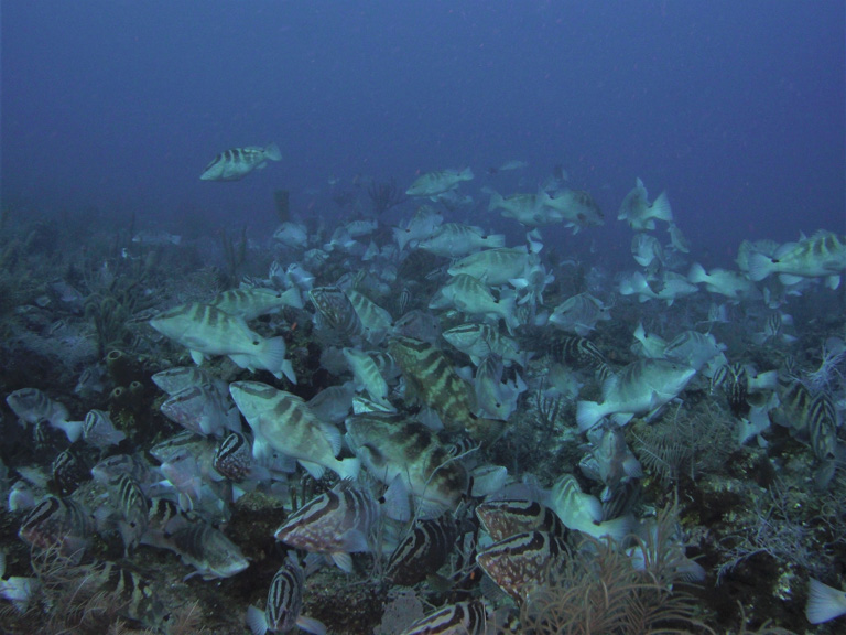 A school of Nassau grouper. Image by Alexander Tewfik/WCS.