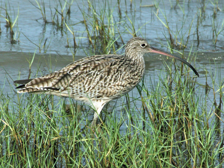 A far eastern curlew. Image by Michelle Ward.