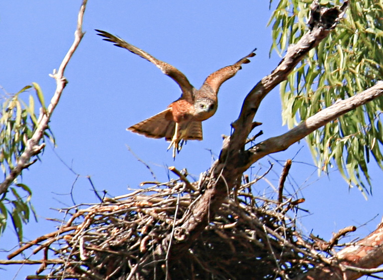 A red goshawk. Image by Summerdrought [CC BY-SA (https://creativecommons.org/licenses/by-sa/4.0)].