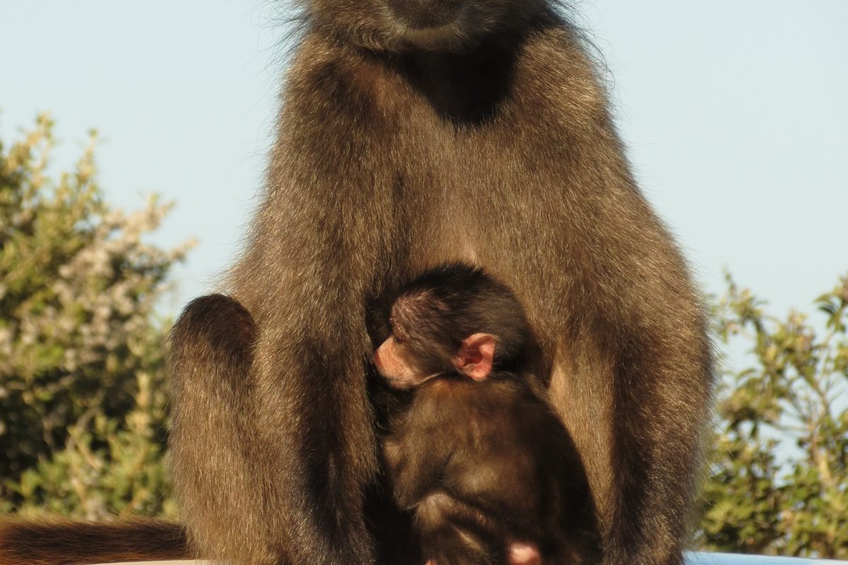 Chacma baboon with baby.