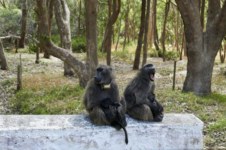 Chacma baboons in Tokai. Image by Ted Matherly via Flickr (CC BY-NC-2.0)