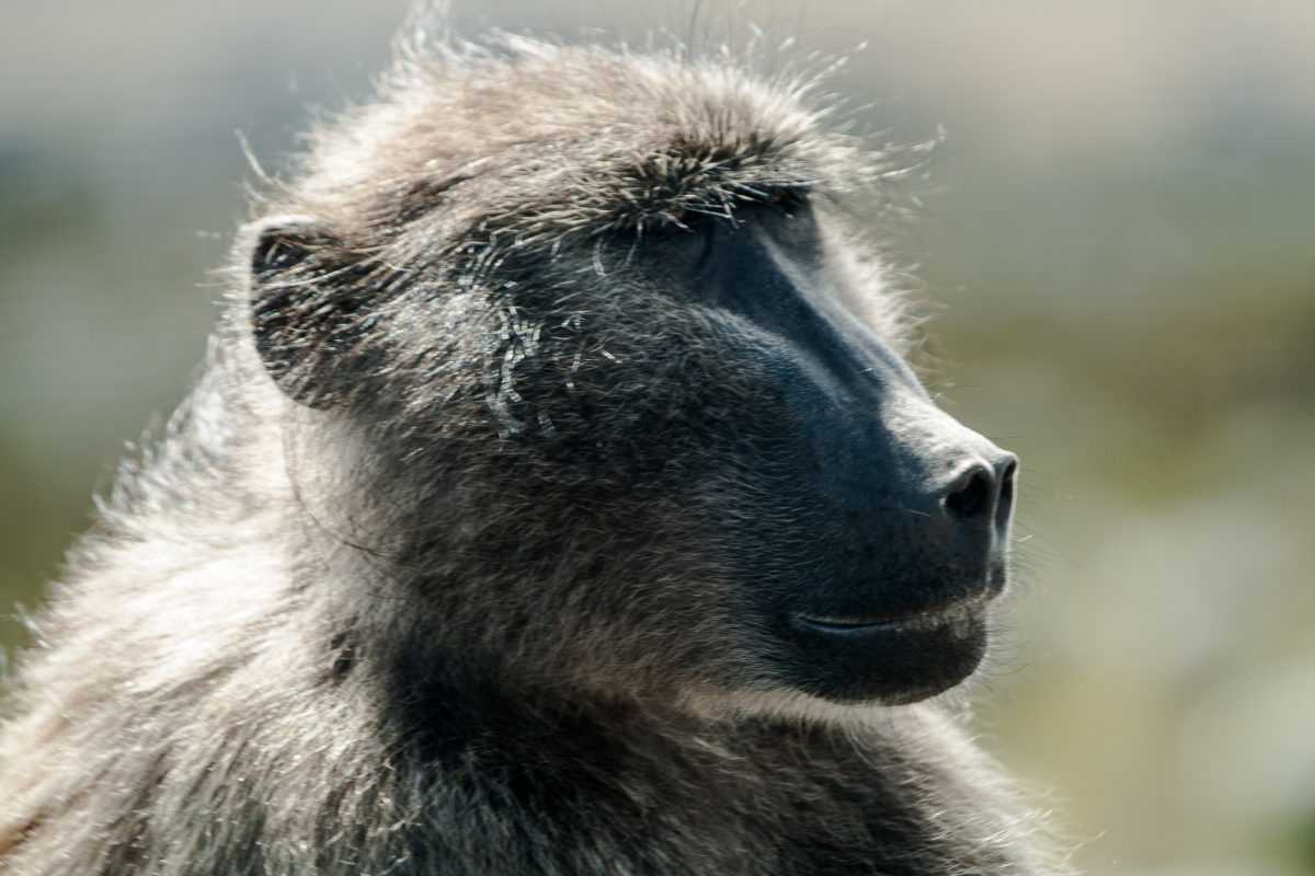 Chacma baboon on the Cape Peninsula. Image by Travis Baker via Flickr (CC BY-NC-ND-2.0)