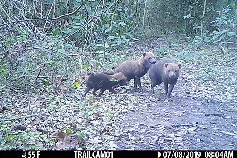 Pack of bush dogs caught on camera trap at San Miguelito, Bolivia.