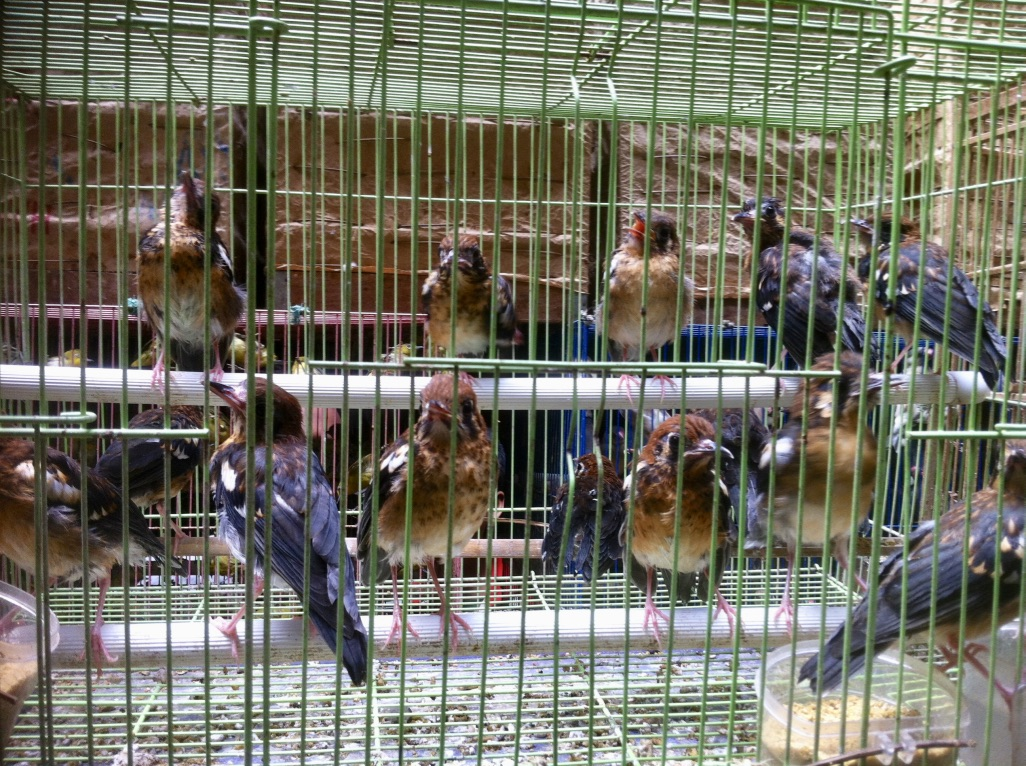 Cages birds in Jakarta's bird market. Photo by David Wilcove.