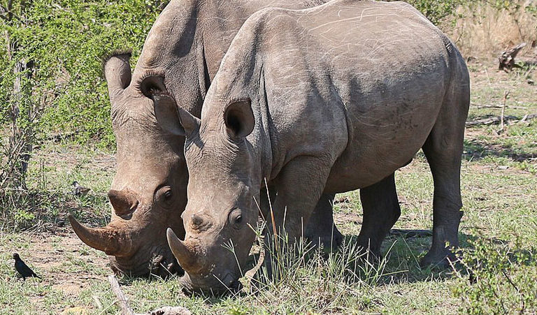 rhinos in kruger 1210px 768x451.'