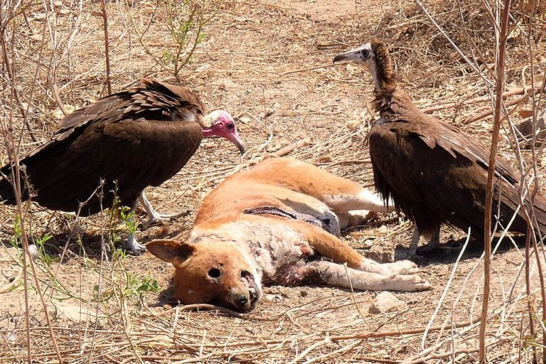 Hooded vultures eating a dog carcass in the Gambia. Image by Paul Walter via Wikicommons (CC BY-2.0)
