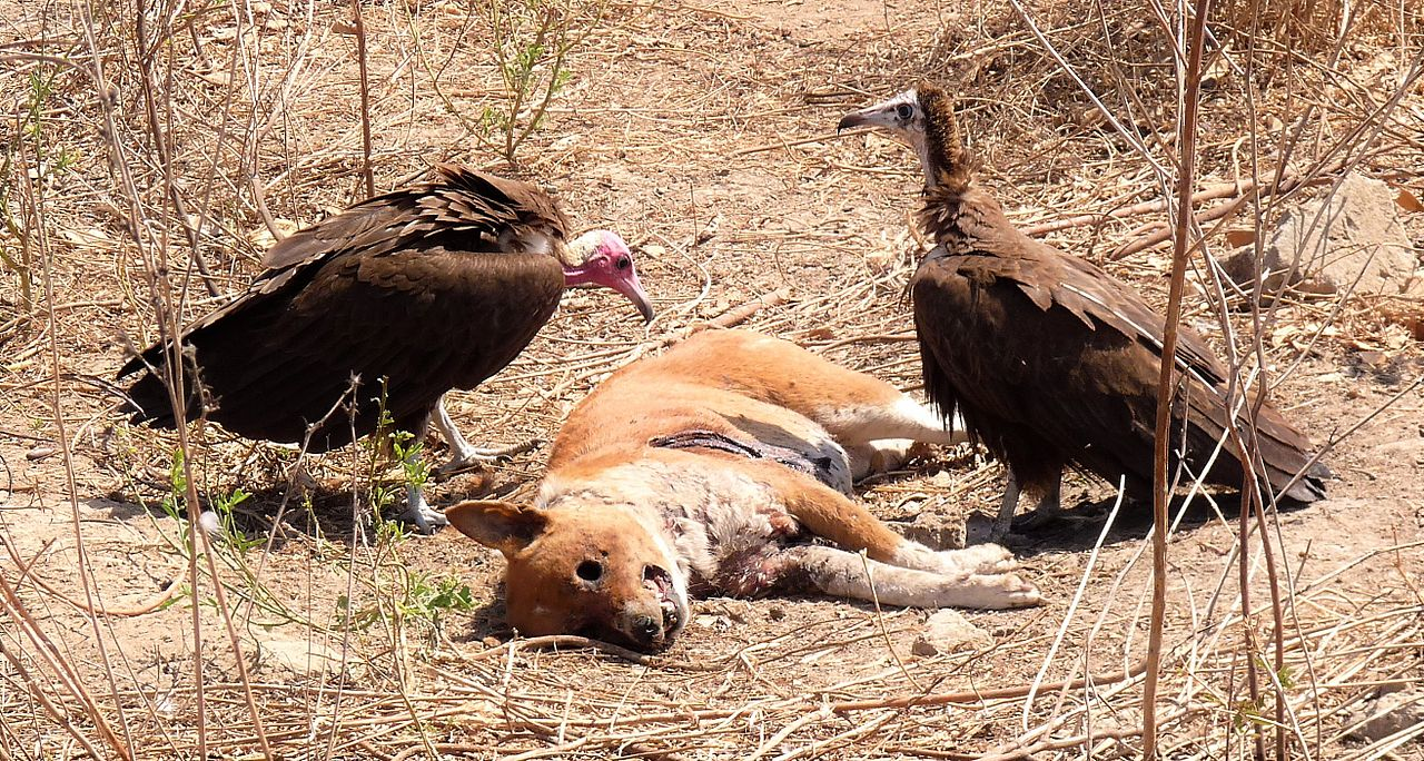 As Guinea-Bissau records mass vulture deaths, poisoning is main suspect