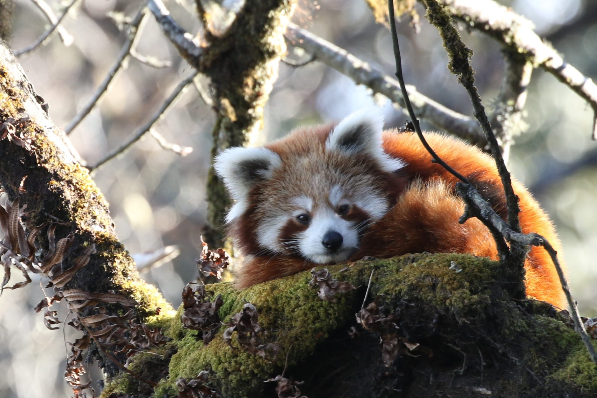 'Fake market': Red panda study finds no real demand behind rise in poaching