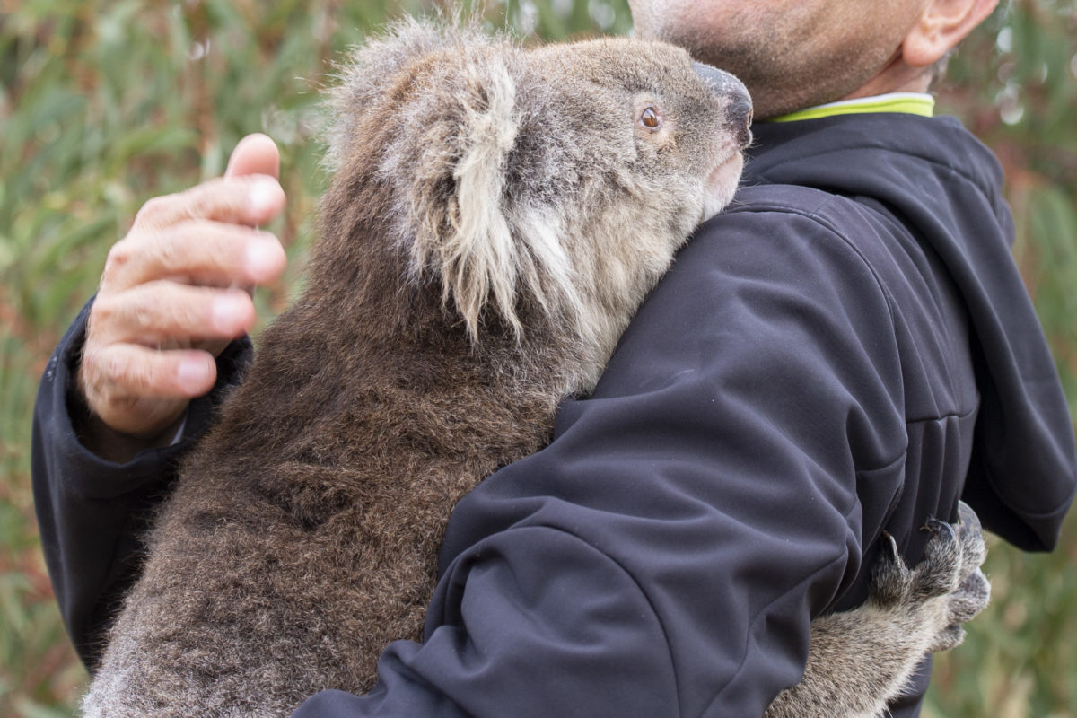 How Are Koalas Doing In The Aftermath Of The Australian Fires Q A With Cheyne Flanagan