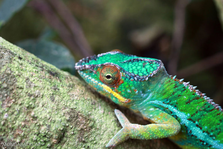 A male panther chameleon (Furcifer pardalis). Image by Rhett A. Butler