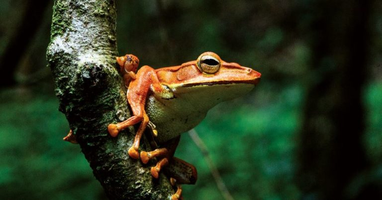 2 Montane Hourglass Tree frog Taruga eques Knuckles c Erich Joseph e1584952613408