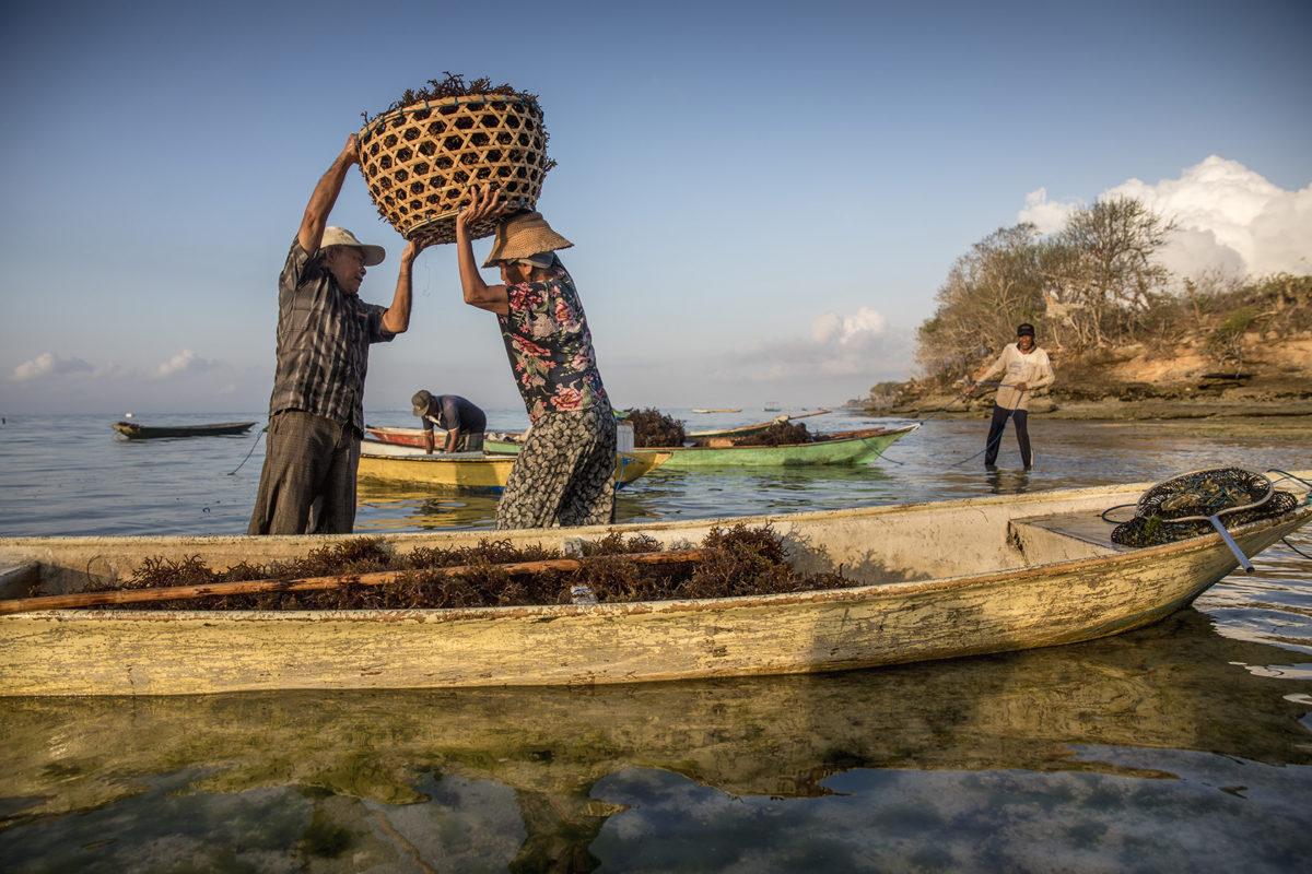 Lokalbor jobbar med sina algodlingar ute i bukten vid ön Nusa Lembongan