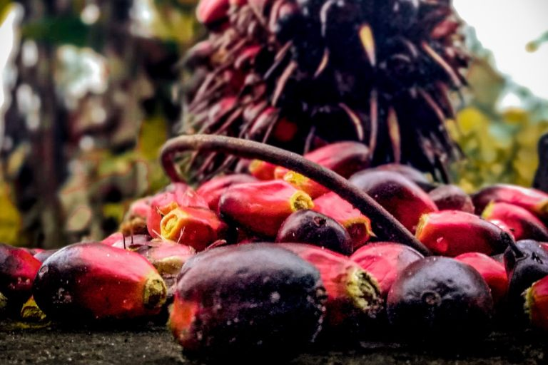 Oil palm fruit. Image by Dave Barce via Wikicommons (CC BY-SA 4.0)