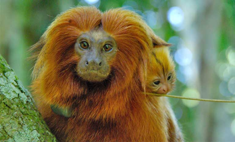 The next great threat to Brazil's golden lion tamarin: Yellow fever