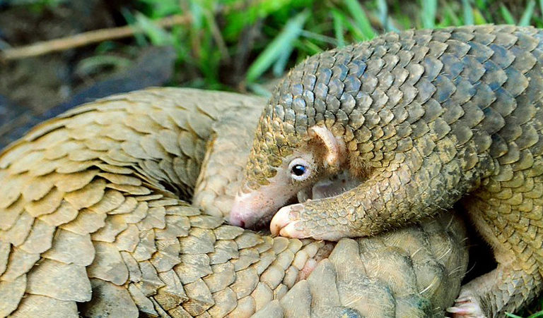 A Philippine pangolin pup and its mother, a critically endangered species endemic to the Palawan island group. Photo by Gregg Yan, licensed under CC BY-SA 4.0