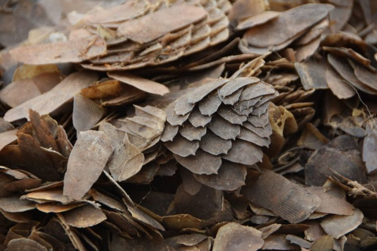 Pangolin scales seized in Cameroon. Image by Keith Cameron/USFWS via Wikicommons (CC BY 2.0)