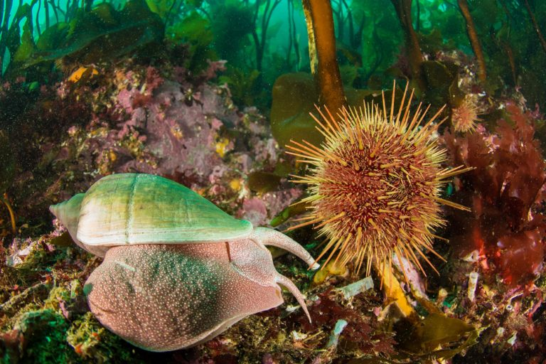 An urchin in a kelp forest. The land meets the sea in Argentina's Tierra del Fuego. Image courtesy of Enric Sala/National Geographic.