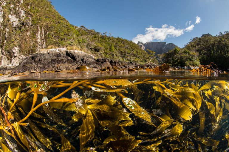 A kelp forest in Tierra del Fuego. Image courtesy of Enric Sala/National Geographic.