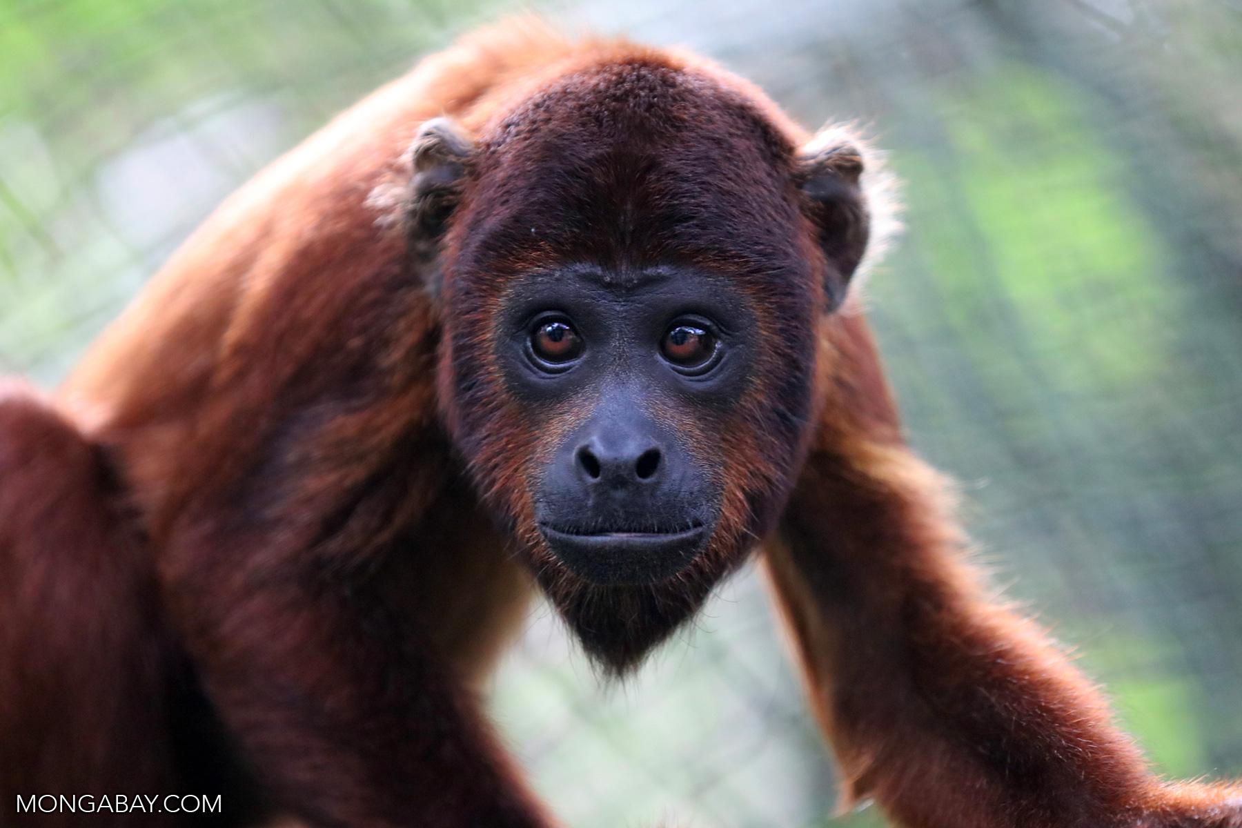 Red howler monkey in the Amazon. Photo by Rhett A. Butler for Mongabay.