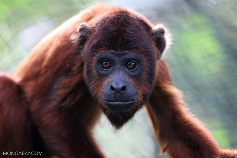 Red howler monkey in the Amazon. Photo by Rhett A. Butler for Mongabay.