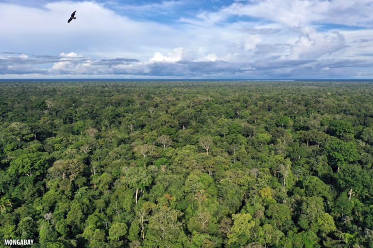 Drone capturing a raptor in flight over the Amazon rainforest. Photo by Rhett A. Butler for Mongabay.