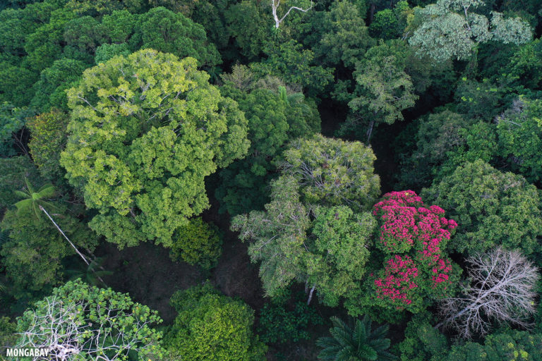Flowering rainforest tree in the Colombian Amazon. Photo by Rhett A. Butler for Mongabay.