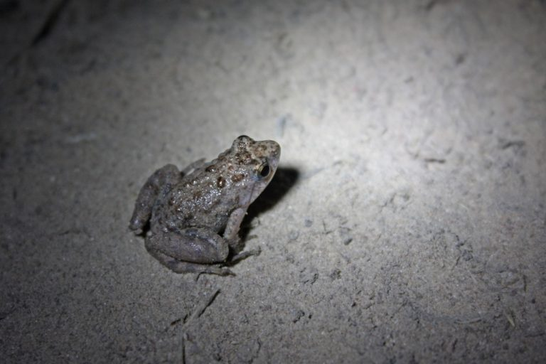 ...probably a Natal dwarf puddle frog in the Gambia. Image by Thomas Brown via Flickr (CC BY-NC-SA-2.0)